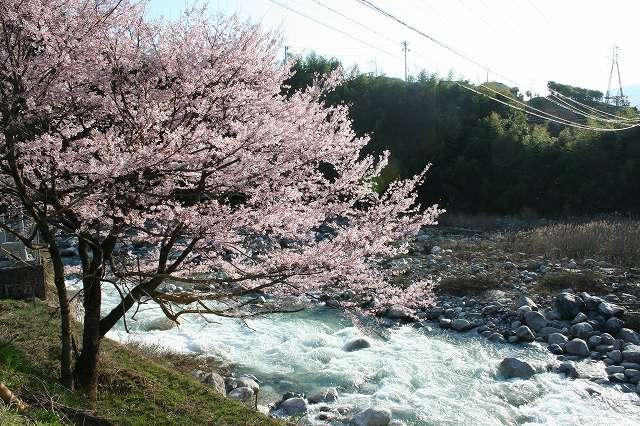 木曽川沿いの桜並木 (大桑村)