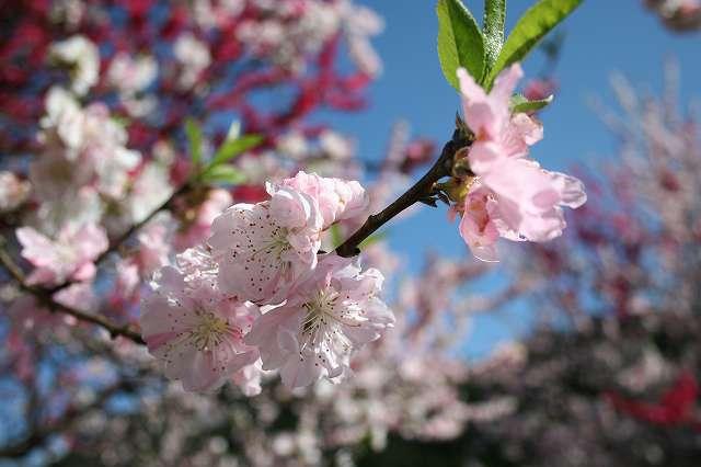 梅の花 (大桑村)