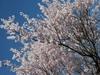 春の空と桜 (大桑村)
